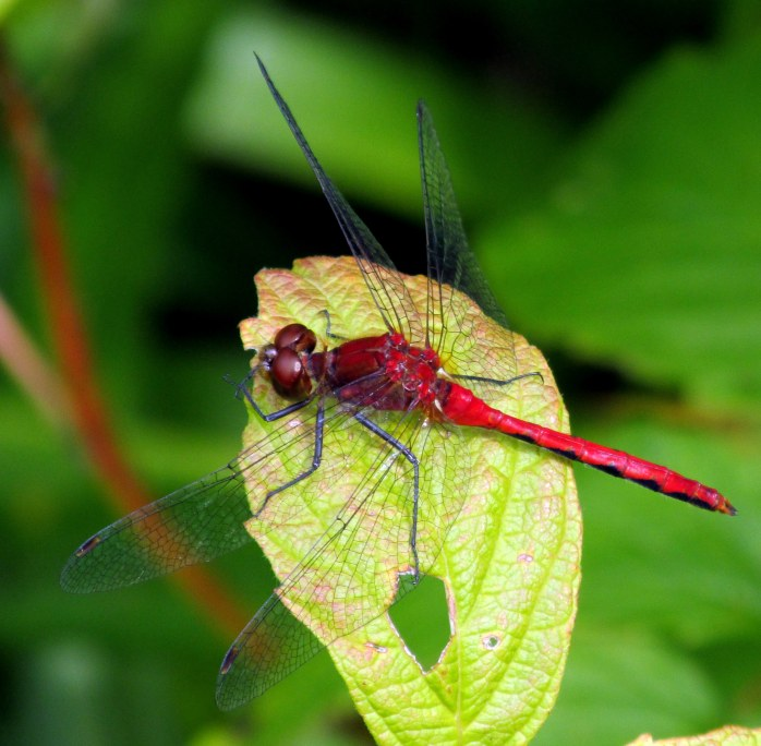 red dragonfly, 16 Aug