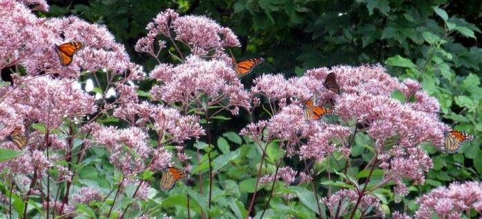 sevenmonarchbutterfliesbonJoePyeweed4Sept2014