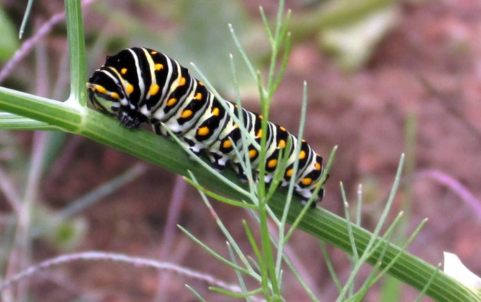 eastern black swallowtail (Papilio polyxenes) butterfly caterpillar on fennel, Sept 2014