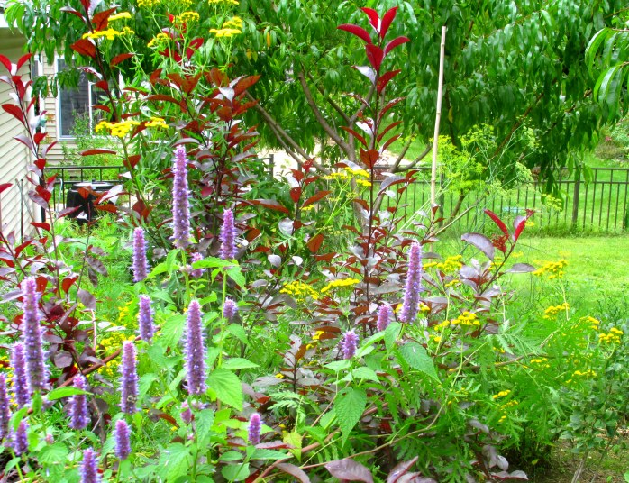tansy, anise hyssop, and purple sand cherry, 2 Sept