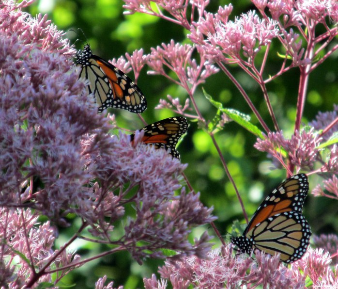 three monarchs, 4 Sept 2014