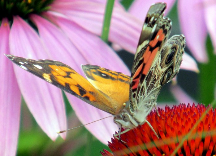 American Lady (Vanessa virginiensis) butterfly on echinacea, July 2014