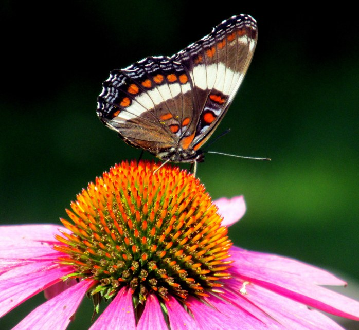 white admiral butterfly (Limenitis Arthemis) on echinacea, 11 Aug