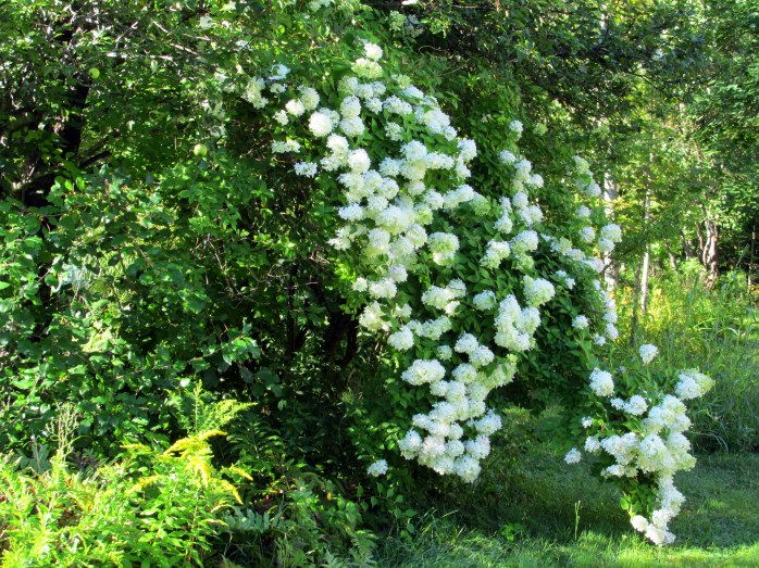 white hydrangea in rock wall, 24 Aug