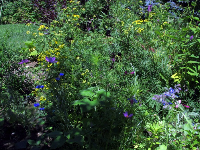 wildflowers, tansy, borage, 8 Aug
