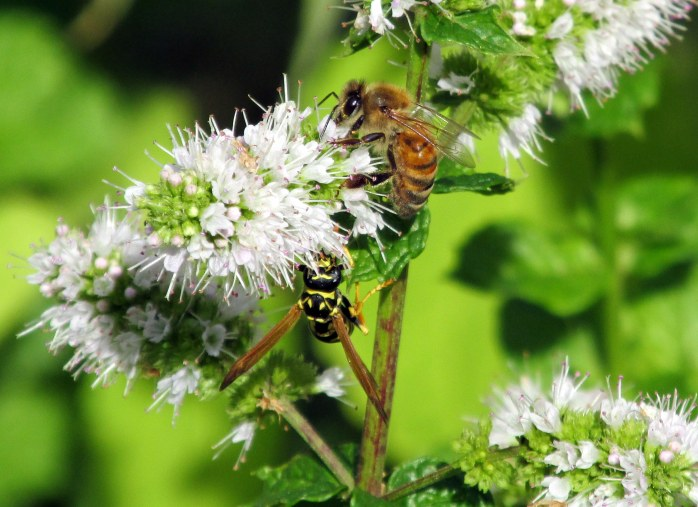 yellow jacket and bee on mint, 10 Sept 2014