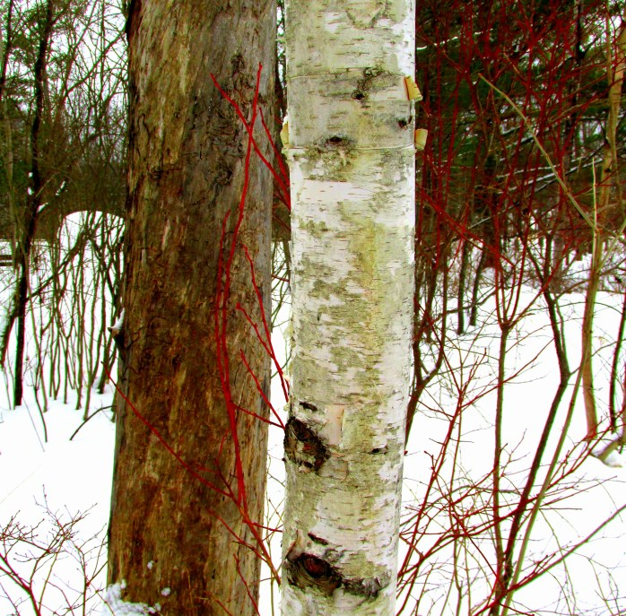 birch and red twigs, New London, NH, Feb 2014