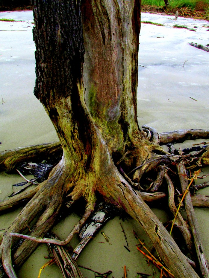 trunk and roots, Clam Creek, Jekyll Island, GA, Sept 2014