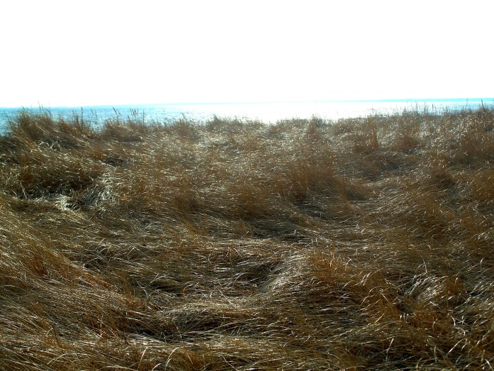 not hay but grasses at Pine Point, ME, Dec 2011