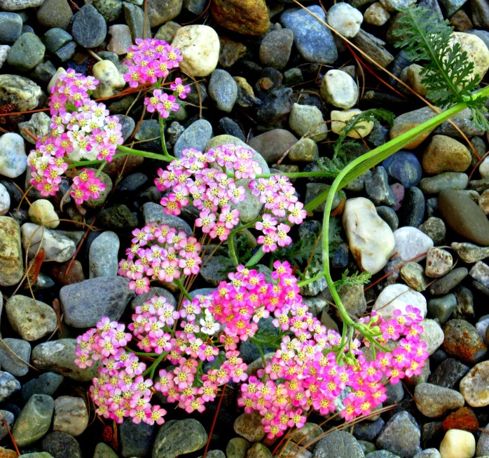 'Summer Pastels' yarrow on stones 8 Aug 2014
