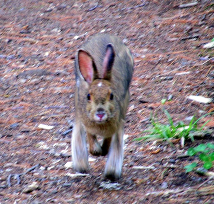 snowshoe hare blurred, Coastal Maine Botanical Gardens, Boothbay, ME, May 2014