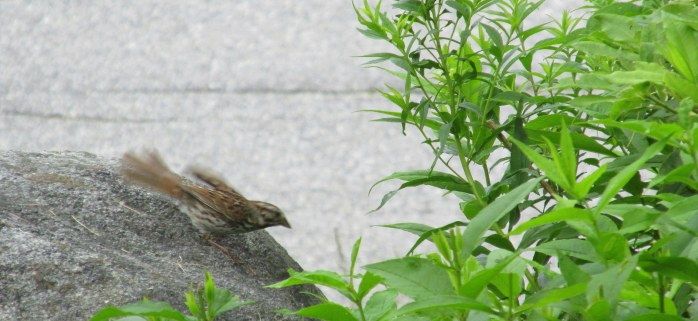 sparrow on the move on rock, 15 July 2014
