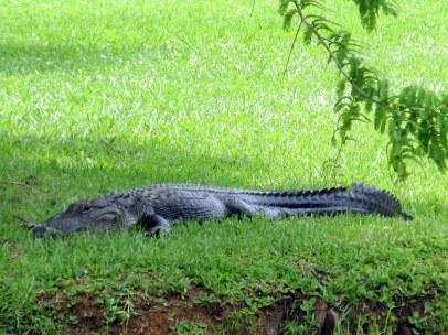 alligatoronlawnsideBrookgreenGardens22June2014