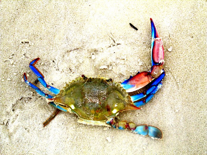gorgeous blue crab, Jekyll Island, GA, Sept 2013