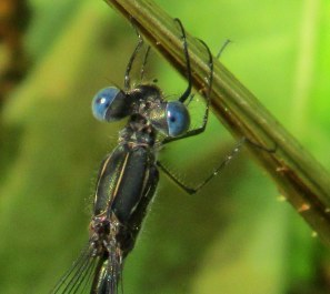 blueeyedLestesspreadwingdamselflyheadandthorax27Aug2014