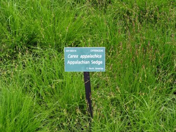 CarexAppalachicaCMBG23May2014