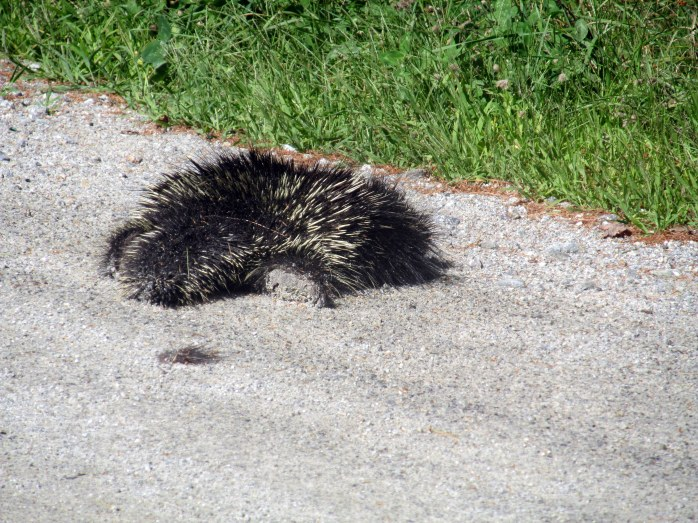 porcupine, Kezar Lake, NH, Sept 2014