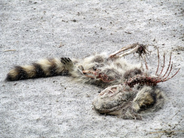 raccoon carcass, Jekyll Island, GA, 26 Dec 2013