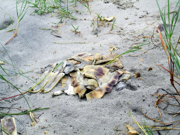 sea turtle, Jekyll Island, GA, Sept 2013