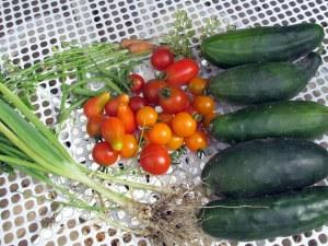 harvesttomatoescucumbersbeansscallionscarrots10Sept2014