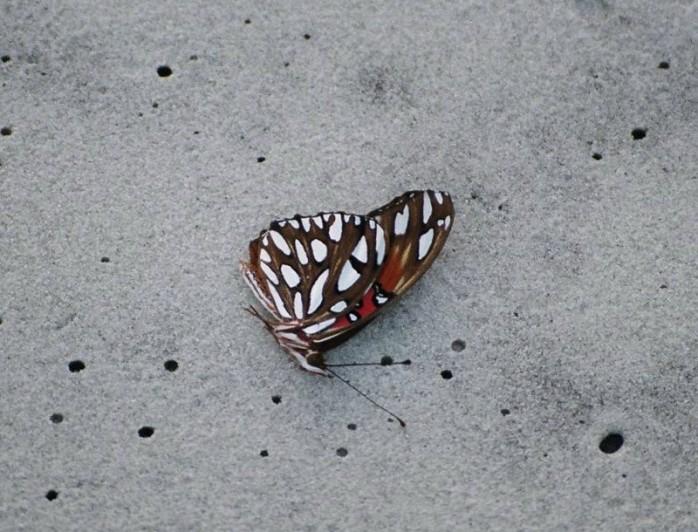 fritillary butterfly, Jekyll Island, GA, Sept 2012