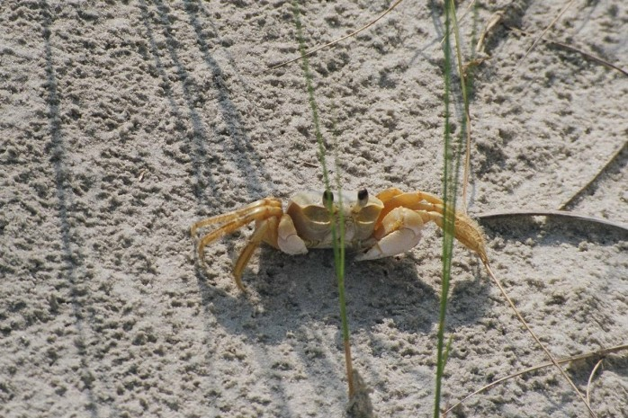 ghost crab, Jekyll Island, GA, Sept 2005
