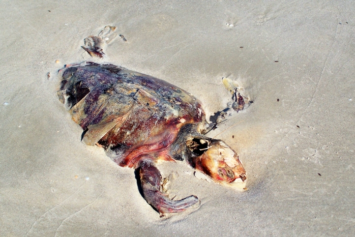 sea turtle, Jekyll Island, GA, April 2012