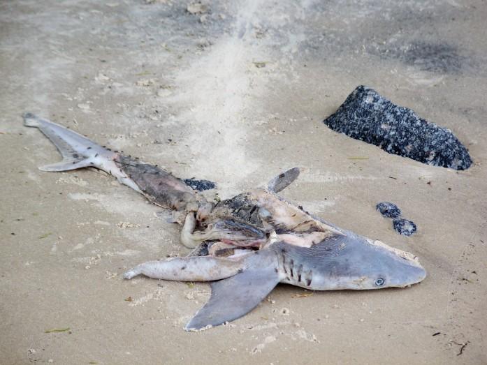shark, Jekyll Island, GA, Sept 2008