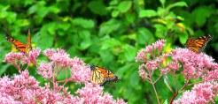 threemonarchbutterfliesonJoePyeweedc2Sept2014