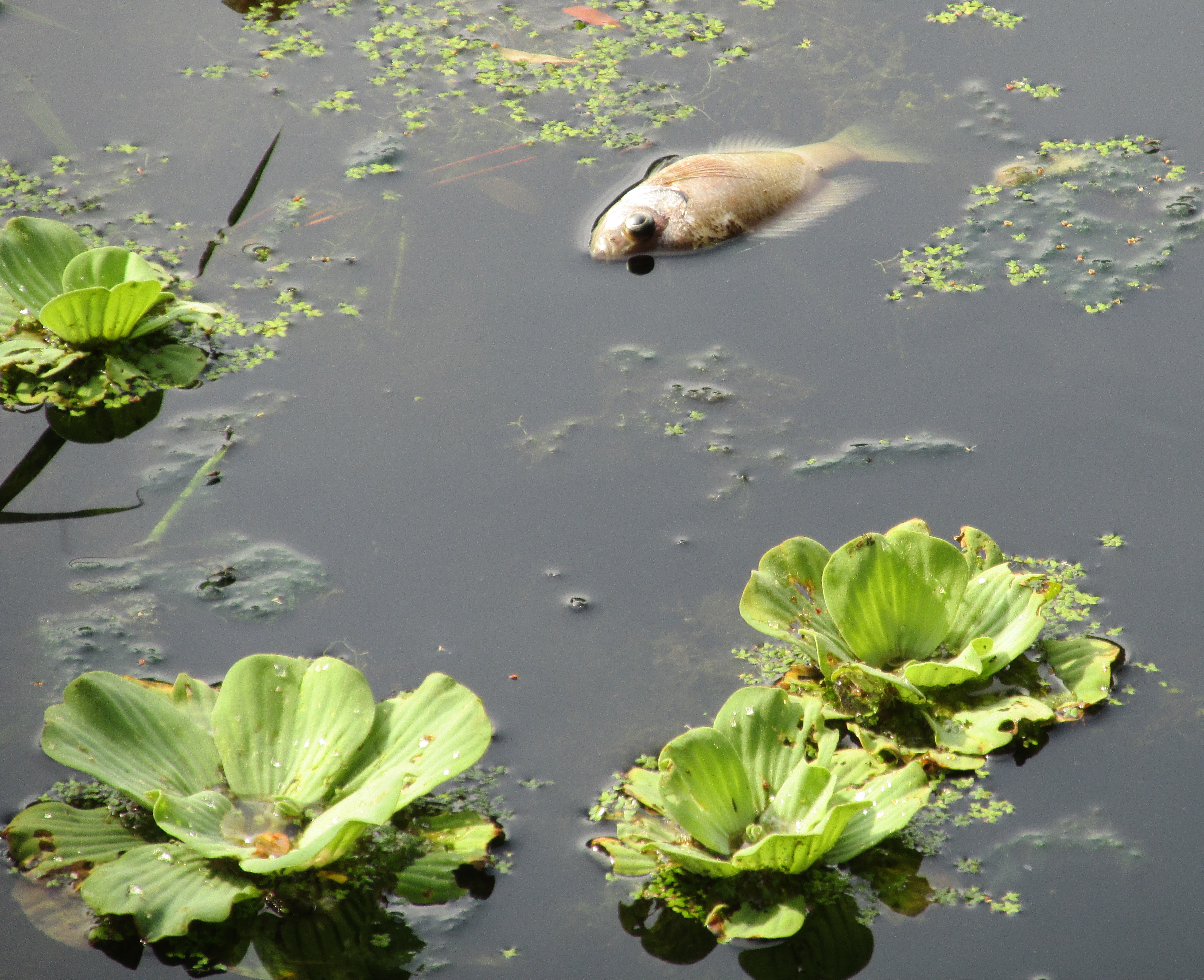 Fish Dying In Backyard Pond : Remembering the Dead (All Souls? Day and D?a de Muertos)
