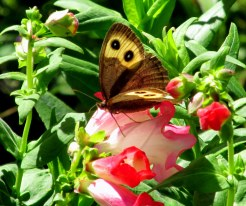 woodnymphbutterflywingsopenonannualPhoenixPinkpenstemon25Aug2014