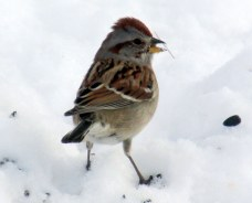 American tree sparrow, 22 Feb 2015