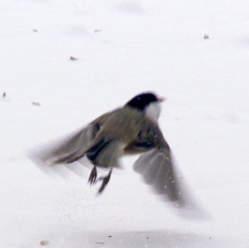 chickadee in flight over snow, 6 Feb 2015