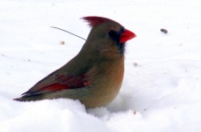 female cardinal, 17 Feb 2015