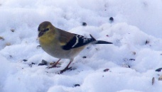 goldfinch, 29 Jan 2015