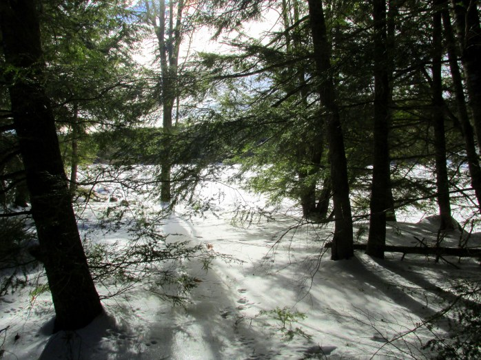 hemlocks and snow, local trail, 17 Jan 2015