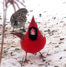 male cardinal and sparrow, 15 Jan 2015