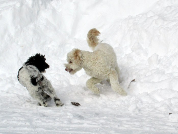 dogs playing in snow, 17 Feb 2015