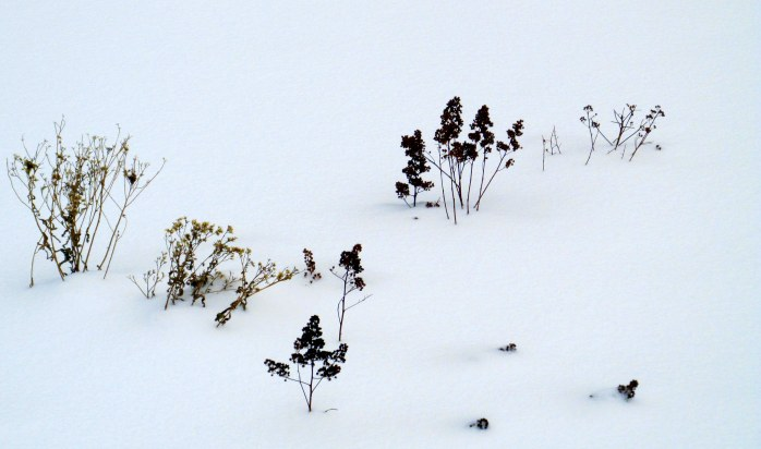 plants in snow, local trail, 14 Feb 2015