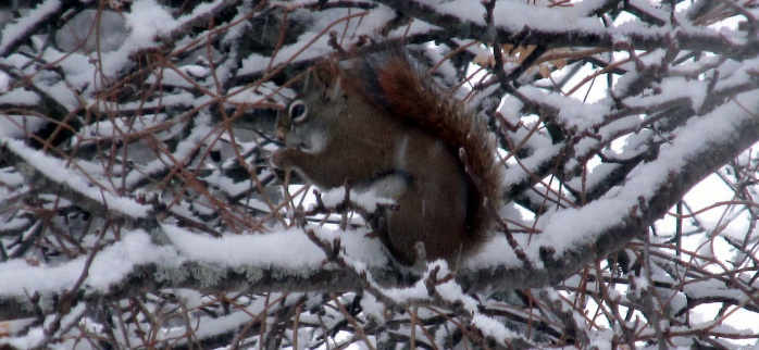 red squirrel in apple tree in snowstorm, 30 Jan 2015