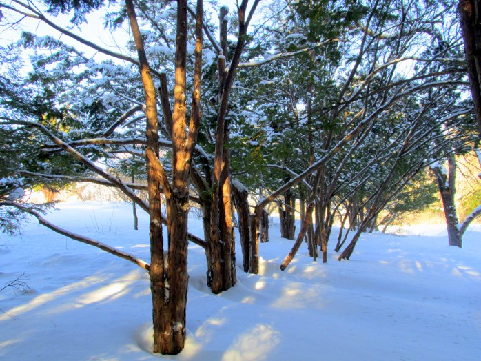 row of cedars in snow, The Fells, 22 Feb 2015
