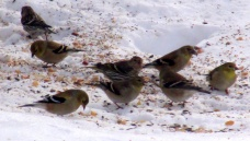 six goldfinch, a redpoll, a pine siskin, 17 Feb 2015