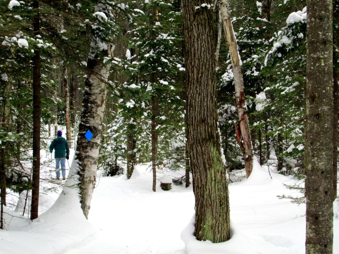 trail with evergreens in snow, local trail, 7 Feb 2015
