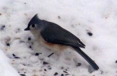 tufted titmouse, 9 Feb 2015