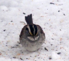 white-throated sparrow, 14 Feb 2015