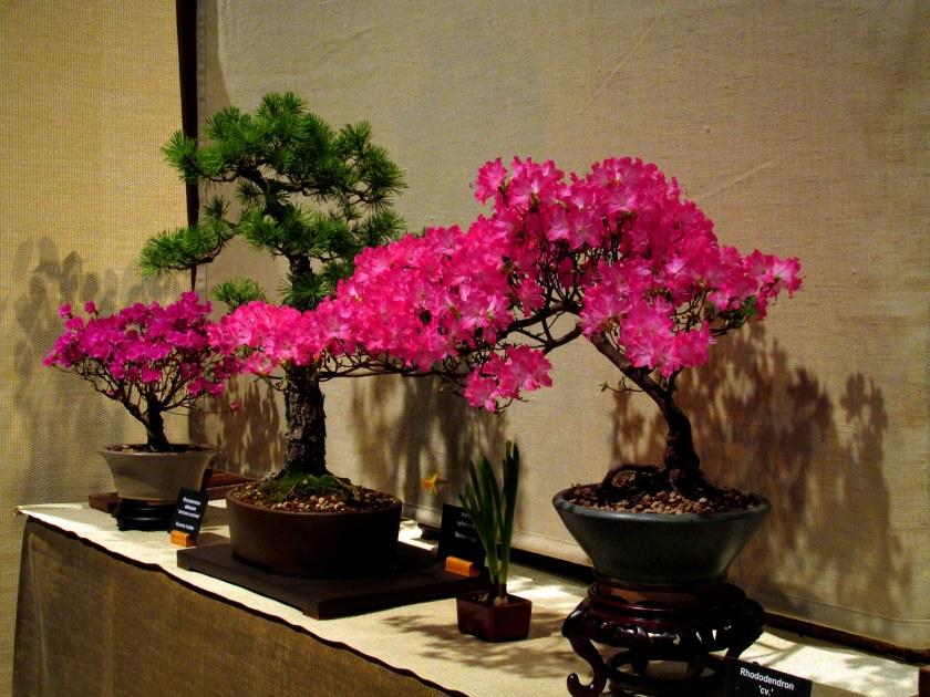 Bonsai Study Group: azalea and other bonsai