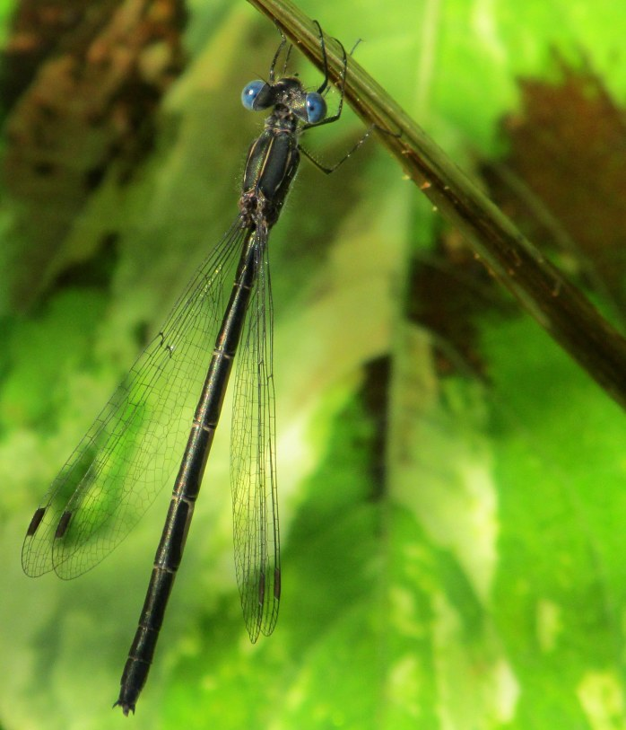 blue-eyed Northern spreadwing (Lestes) damselfly
