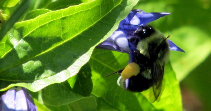 bumblebee with pollen on gentian