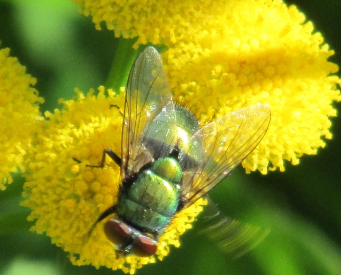 Common green bottle fly (Lucilia sericata) on tansy