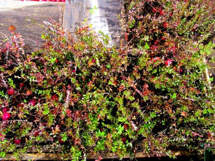 Ocean Spray: cranberry bushes